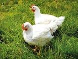 岩手県産銘柄鶏『奥の都どり』【岩手県】