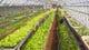 自家農園の温室(下市場・杉山農場)