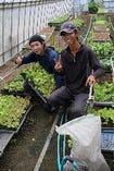自家農園産レタス収穫