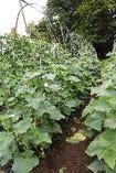 自家農園きゅうりの生産 令和3年6月7日撮影【千葉県八千代市杉山農園】