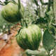 クーズファームさんのゼブラトマト