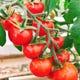 毎週納品される契約農家さんのトマトはビュッフェで人気の一品!