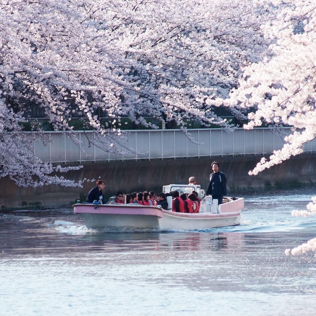 大横川の両岸にしだれ咲くソメイヨシノはとても幻想的。